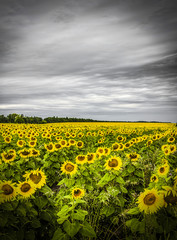 Field of yellow sunflowers against a gray sky.