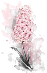 watercolor drawing,  pink  hyacinth, garden  flower, leaves, illustration isolated on white background. splash paint. valentine's day