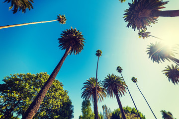 Tall palm trees in Beverly Hills