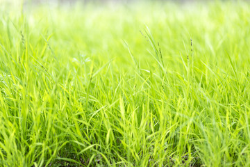 long blades of grass