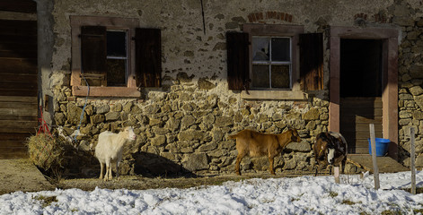 Ziegen Bauernhof Winter
