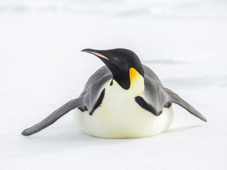 Fond de hotte en verre imprimé Pingouin Emperor penguins on the frozen Weddell Sea