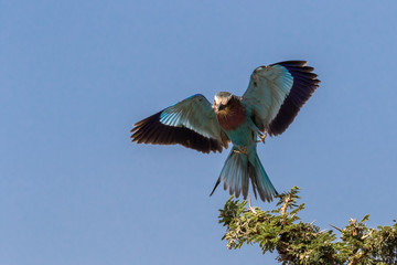 Wall Mural - Lilac breasted Roller flying in to land on a green branch with blue sky background. Taken in Kenya.