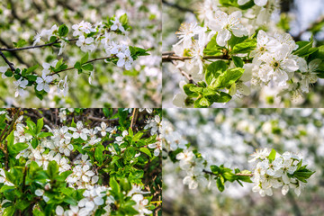 white flowers of apple tree on blur background