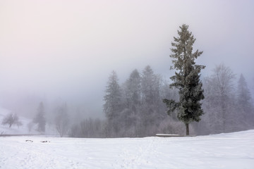 fog in the spruce foreston a meadow