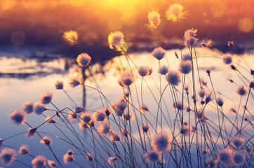 Spring scene. Plant cotton grass over water in beams of the sunset sun.