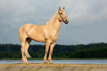 Portrait of a palomino horse.