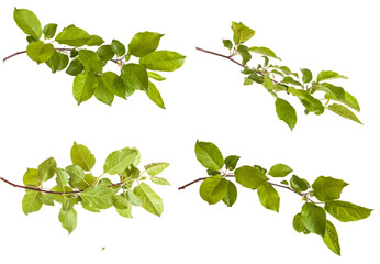 apple-tree branch with green leaves. Isolated on white backgroun Wall mural