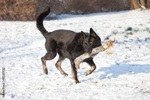german shepherd dog with stick stock photo and royalty free images on pic 132613132. Black Bedroom Furniture Sets. Home Design Ideas