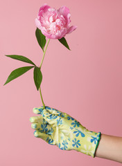 peonies in the hand