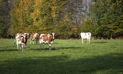 Gruppe von Kühen auf einer Weide im Herbst in Schleswig-Holstein