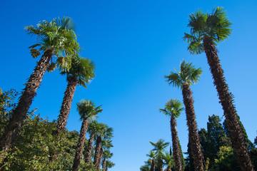 Row palm trees against the sky