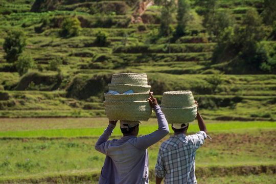 People working in Rice Fields