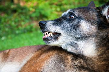A angry dog,  a belgian shepherd showing teeth.