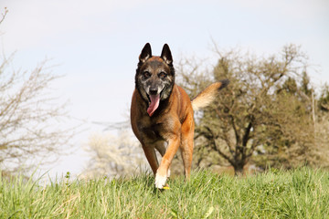 Belgian shepherd in running.