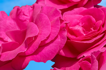 Inflorescences of pink roses on a background of blue sky, macro