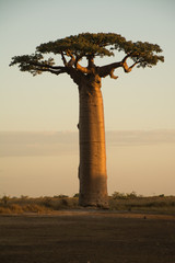 Photo sur Plexiglas Baobab Baobab on Sunset