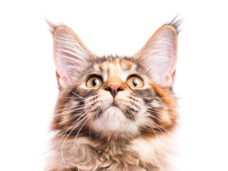 Portrait of domestic tortoiseshell Maine Coon kitten. Fluffy kitty isolated on white background. Close-up studio photo adorable curious young cat looking up.