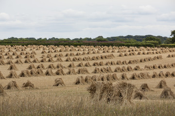 Stooks in field, focus on foreground