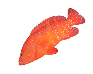 Red fish isolated. Coral Grouper fish on white background