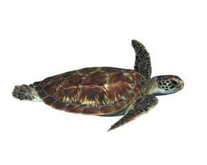 Sea Turtle isolated. Green Turtle cut out white background