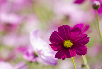 cosmos flowers pink color