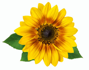 flower of a sunflower isolated on white background