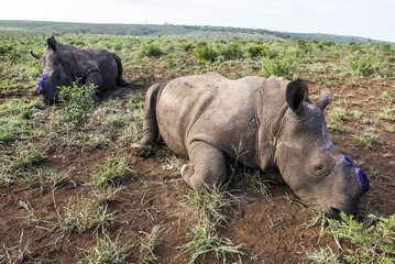 A white rhino mother and calf that have been dehorned