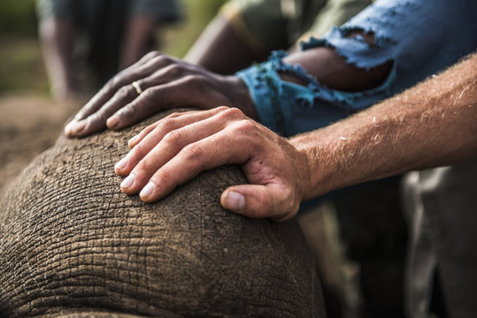 Stabilizing a White Rhino that has been immobilised
