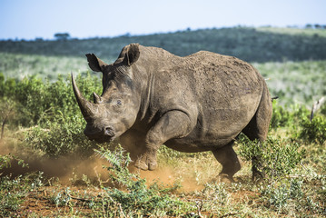 A white rhino staggers from the effect of an immobilising drug
