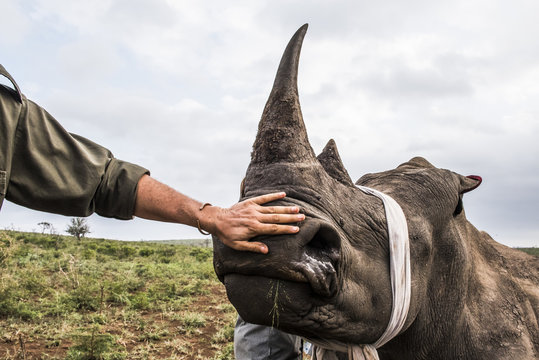 White rhino capture and dehorning, KwaZulu Natal, South Africa