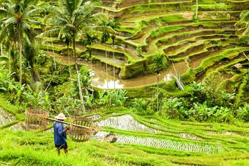 bali Rice fields ubud indonesia