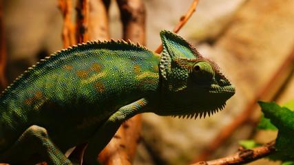 Fototapeten Chamaleon Kameleon,zwierzę