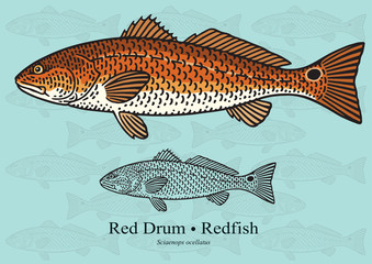 Red Drum, Redfish. Vector illustration for artwork in small sizes. Suitable for graphic and packaging design, educational examples, web, etc.