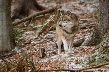 Eurasian wolf pose in nature habitat in bavarian forest, national park in eastern germany, european forest animals, canis lupus lupus