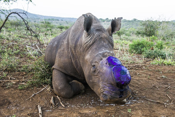White Rhino Capture and Dehorning to prevent poaching