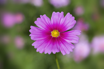 Beautiful closeup cosmos flower over blurred garden background, outdoor natural day light