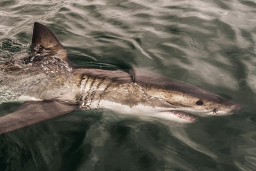 Great White Shark swimming below the surface,