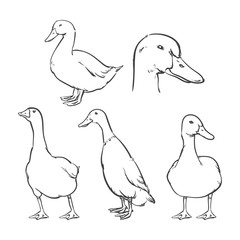 Duck isolated on a white background, Vector illustration, Clip art