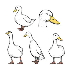 Hand drawn sketch style duck set. vector illustration, Clip art