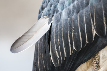 Marabou Stork feather