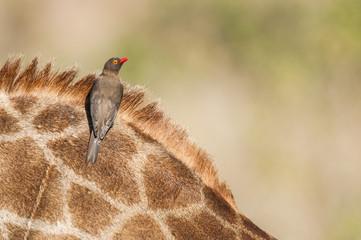 Red-Billed Oxpecker on Giraffe