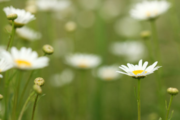 white chamomile wild flower meadow