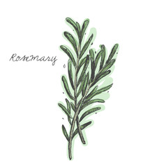 Rosemary branch vector