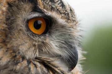 Papiers peints Chouette Eagle Owl Profile