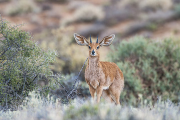 Steenbok ram, amongst bushes, Northern Cape, South Africa