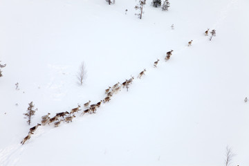 Deer in winter forest-tundra, top view