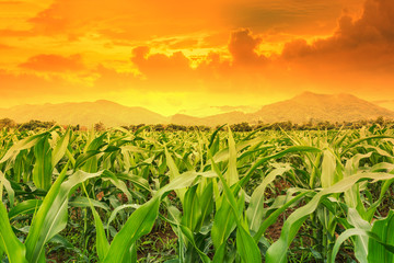 Foto op Plexiglas Groene young green corn field in agricultural garden and light shines sunset