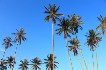 Coconut plam tree on blue sky background