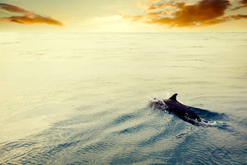 Dolphin jumping in the ocean at sunset. Maldives